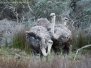 Emus, Ostriches and Rheas