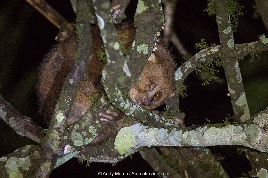 East African Potto 011