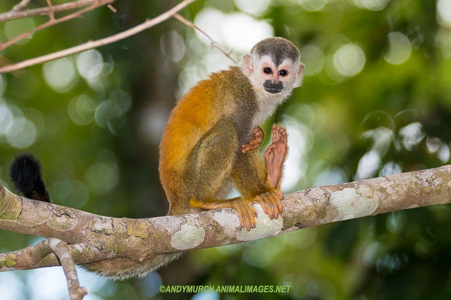 Central American Squirrel Monkey.