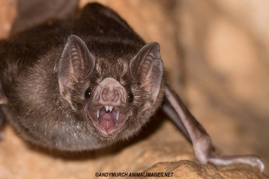 Common Vampire Bat